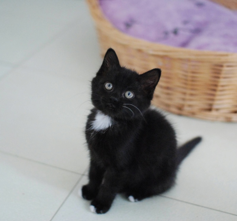 Nutella, chatonne noire type européen née le 1er mai 2017 Nutell10