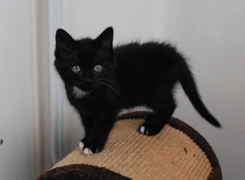 Nutella, chatonne noire type européen née le 1er mai 2017 Nutell11