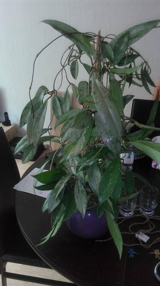 Hoya pubicalyx - Page 5 20155610