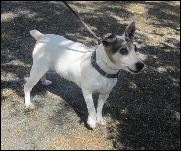 NOUBI jack terrier Noubi110