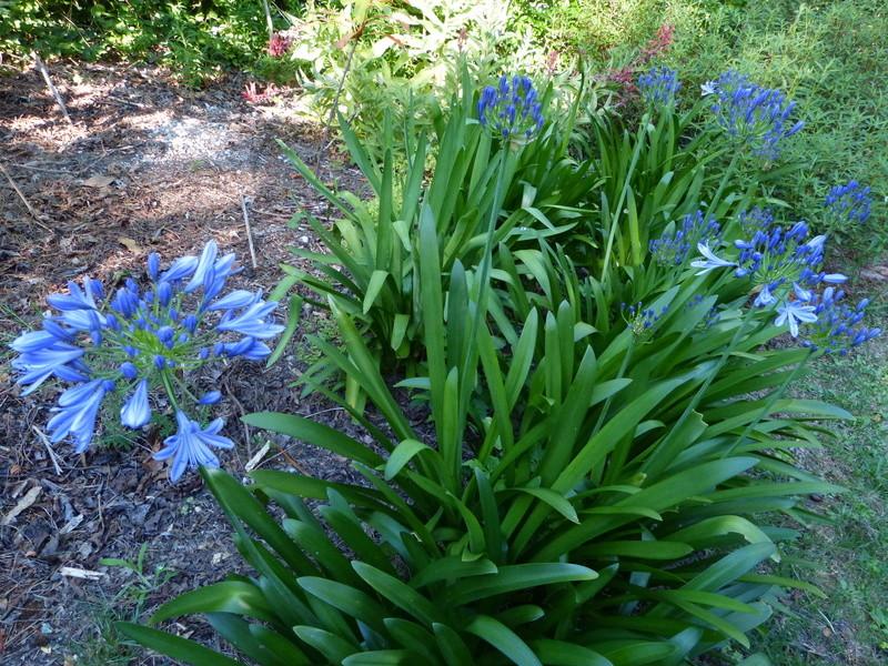 c'est chouette l'été au jardin ! - Page 2 Agapan10
