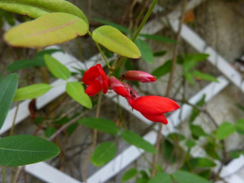 ces quelques fleurs de nos jardins - Page 4 Campto11