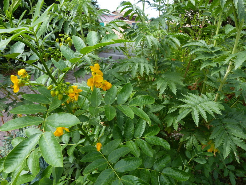 jardins d'été, jardins se plaisent Cassia10