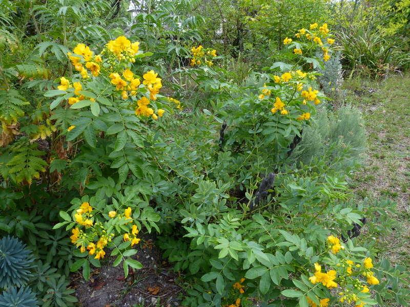 encore des beaux jours au jardin  Cassia11