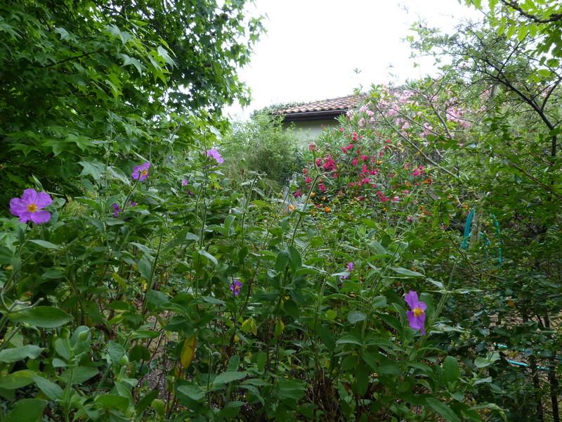 ces quelques fleurs de nos jardins - Page 4 Cistus10