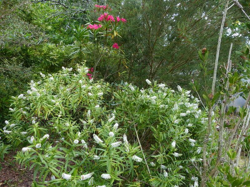 ces quelques fleurs de nos jardins - Page 4 Hebe_s11