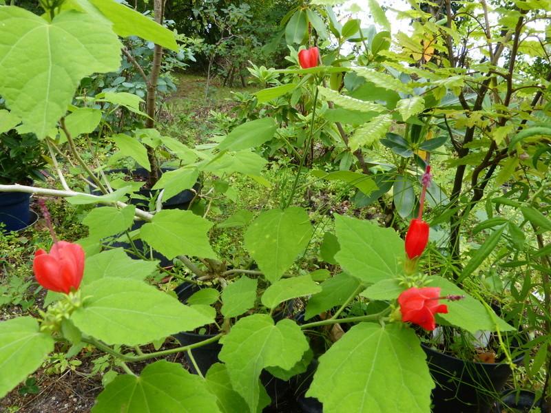 jardins d'été, jardins se plaisent Malvav10