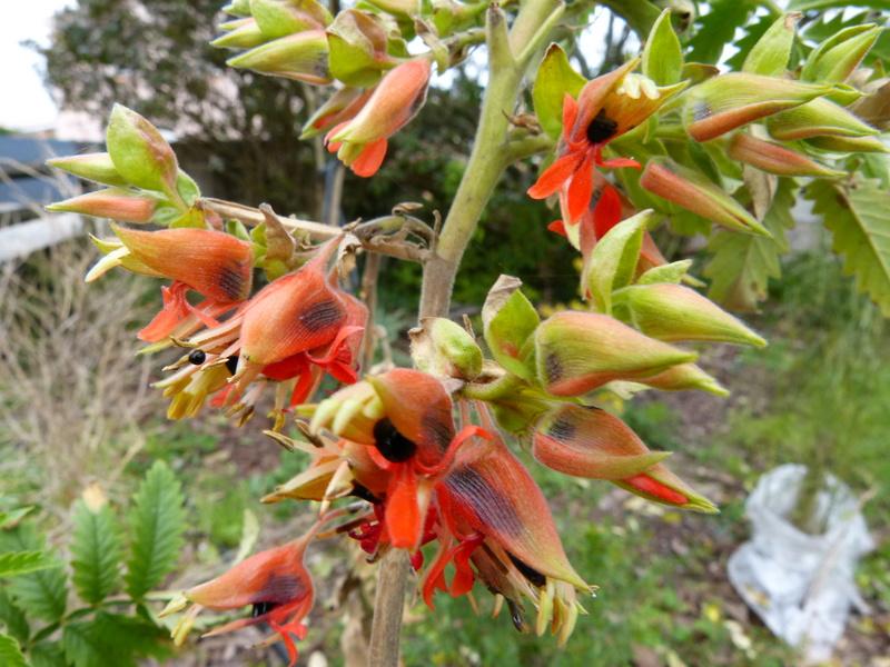 Acanthus eminens et Melianthus comosus [devinette] Melian10