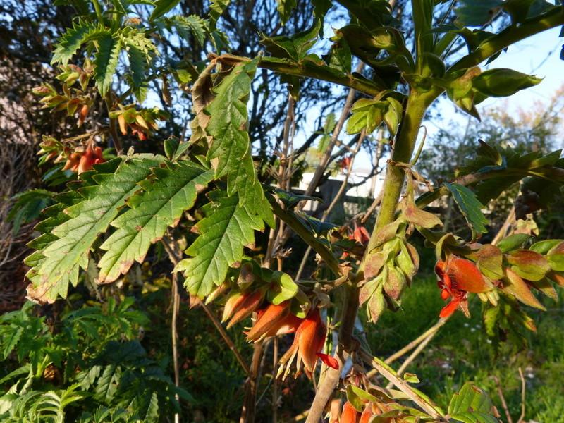 Melianthus comosus - fleur de miel Melian12