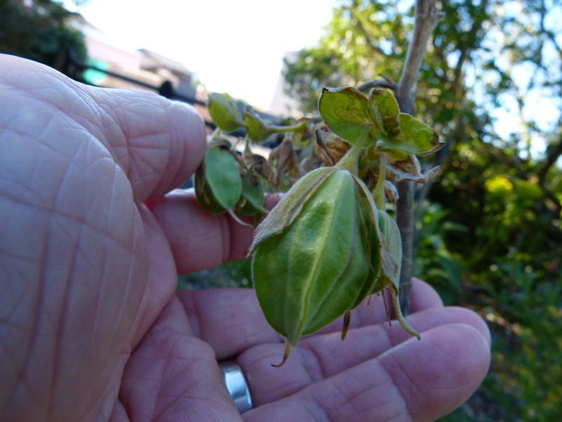 Melianthus comosus - fleur de miel Melian17
