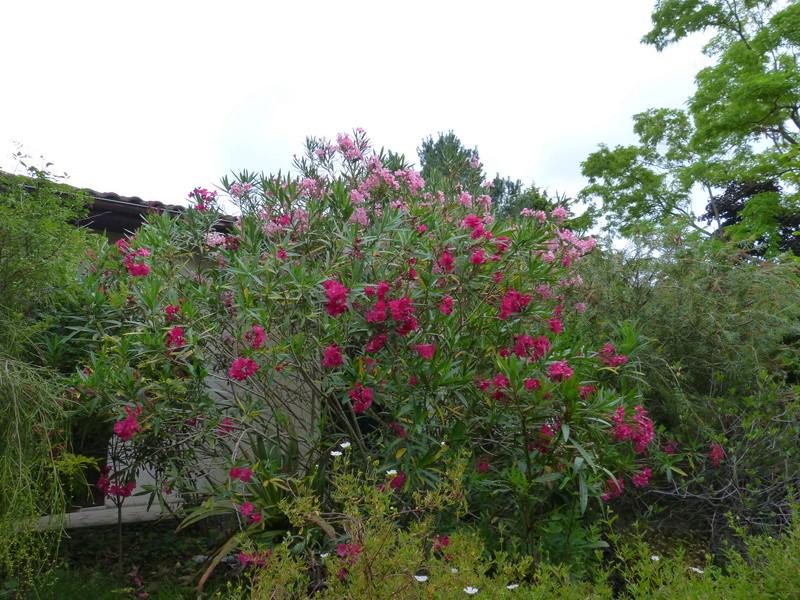 ces quelques fleurs de nos jardins - Page 4 Nerium10