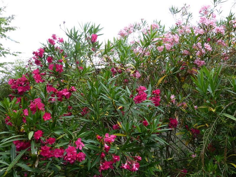 ces quelques fleurs de nos jardins - Page 4 Nerium11