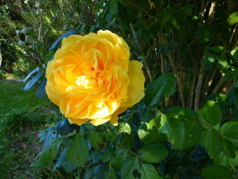 l'été indien des Fous Jardiniers Rosa_g10