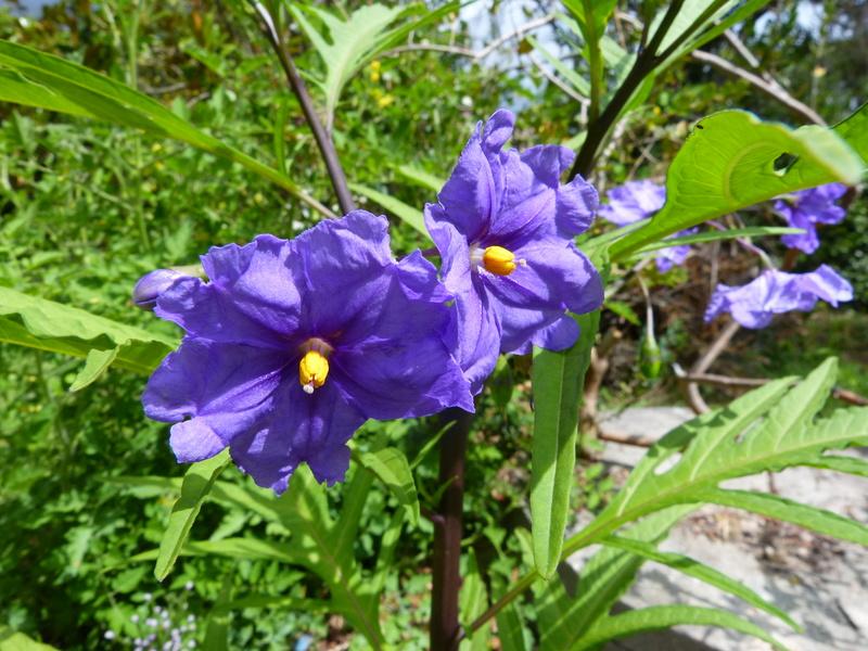 jardins d'été, jardins se plaisent Solanu11