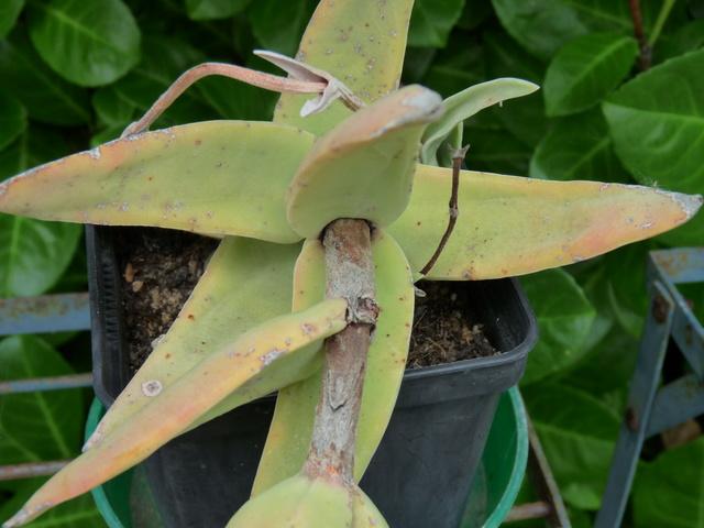 Crassula perfoliata var. falcata (= C. perfoliata var. minor = C. falcata) - Page 2 Crassu18