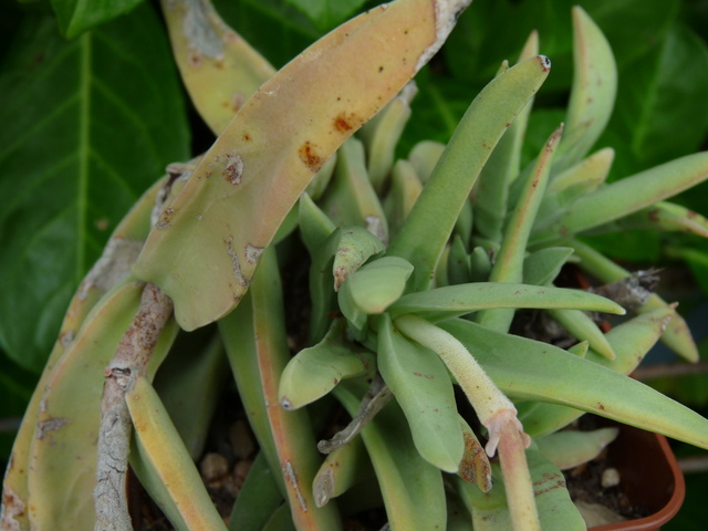 Crassula perfoliata var. falcata (= C. perfoliata var. minor = C. falcata) - Page 2 Crassu19
