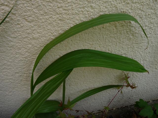 Bletilla striata - orchidée du Japon - Page 4 P1040412