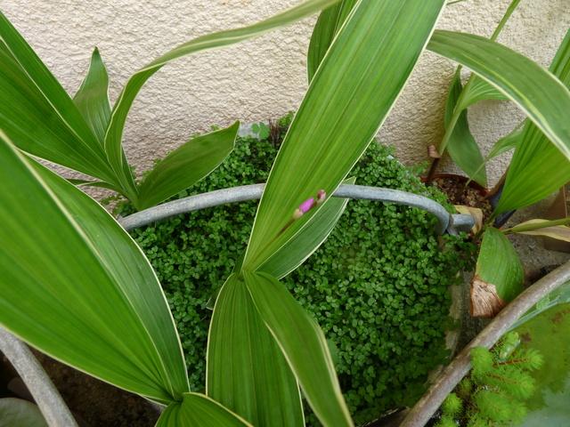 Bletilla striata - orchidée du Japon - Page 4 P1040413