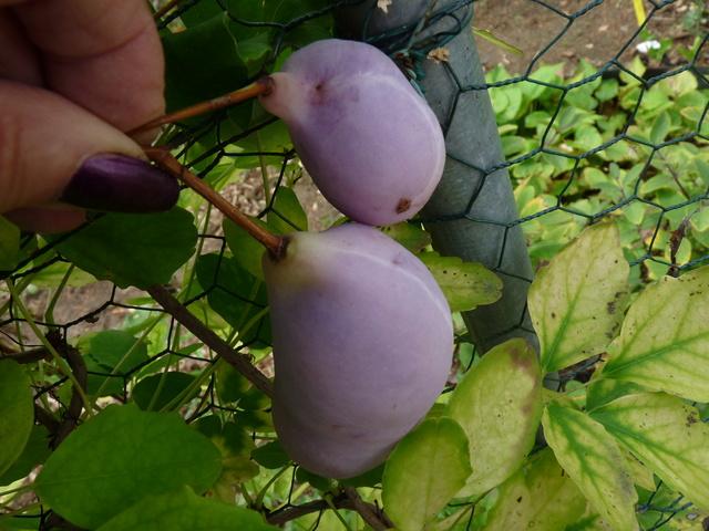 Akebia quinata - liane ou vigne chocolat - Page 2 P1040618
