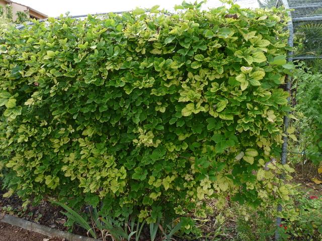 Akebia quinata - liane ou vigne chocolat - Page 2 P1040619