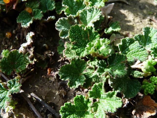 Rubus - le genre - culture, questions... - Page 2 Rubus_10