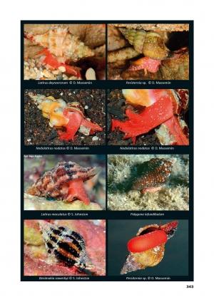 Nouveau livre sur les Fasciolariidae par A. Robin et D. Mallard Plate-11