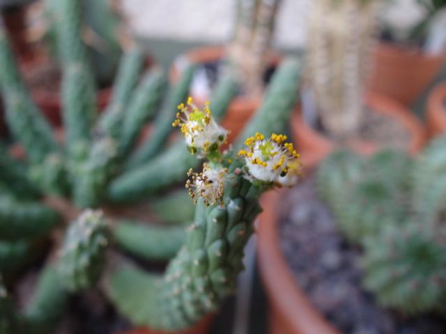 Euphorbia inermis. Dsc00411