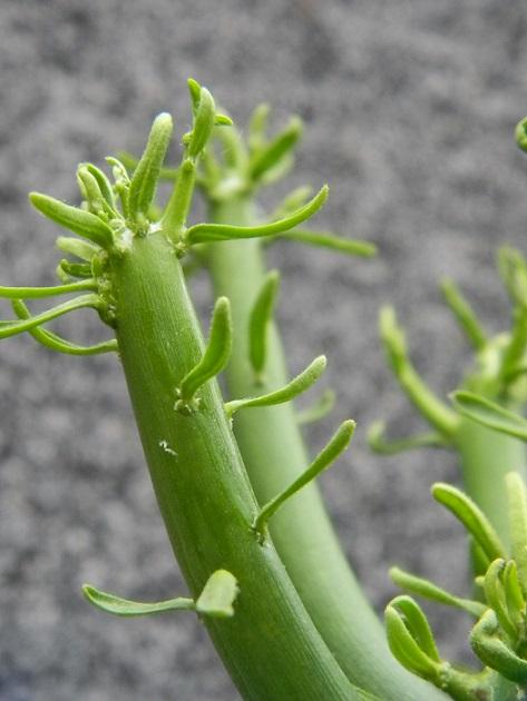 Euphorbia tirucalli Et210