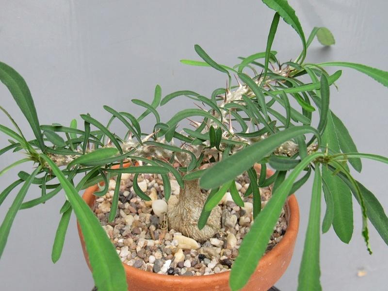 Euphorbia sakarahensis Euh10
