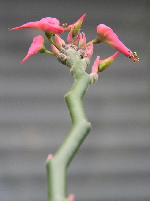 Euphorbia tithymaloides. Ww310