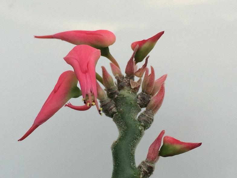 Euphorbia tithymaloides. Wwz10