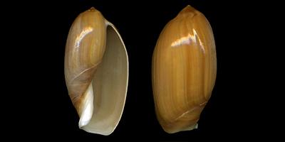 Ancillariidae Anolacia - Le genre, les espèces, la planche Ancill25