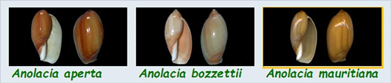 Ancillariidae Anolacia - Le genre, les espèces, la planche Ancill26