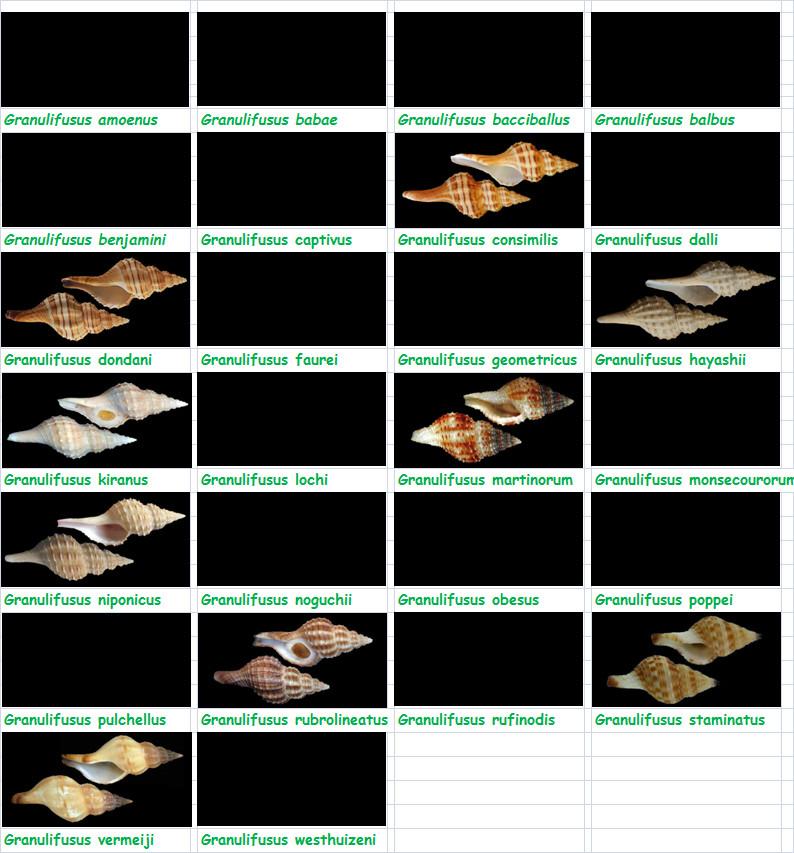 Fasciolariidae Fusininae Granulifusus - Le genre, son espèce, la planche Fascio26
