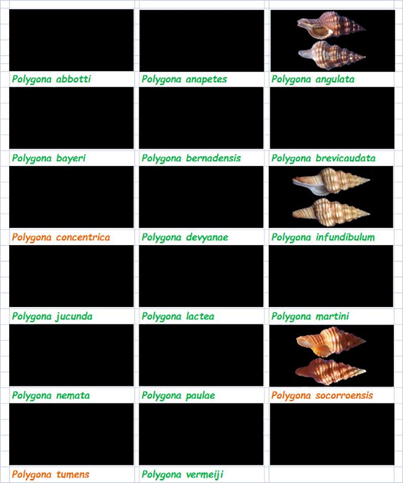 Fasciolariidae Fasciolariinae Polygona - Le genre, ses espèces, la planche Fascio42