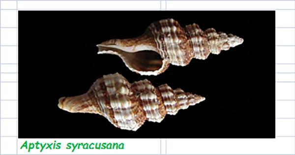Fasciolariidae Fusininae Aptyxis - Le genre, son espèce, la planche Fascio45
