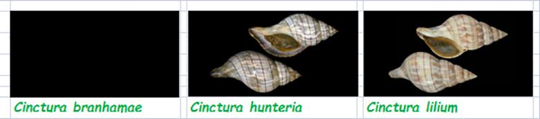 Fasciolariidae Fasciolariinae Cinctura - Le genre, ses espèces, la planche Fascio46