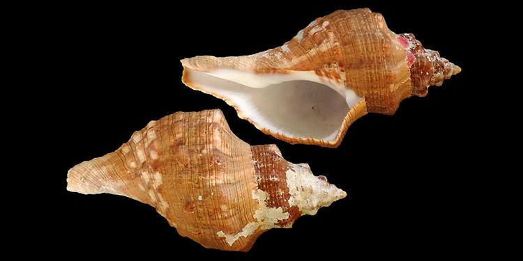 Fasciolariidae Fasciolariinae Aurantilaria - Le genre, son espèce, la planche Fascio47