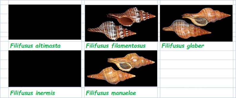 Fasciolariidae Fasciolariinae Filifusus - Le genre, ses espèces, la planche Fascio49