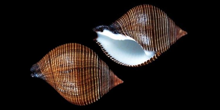 Fasciolariidae Peristerniinae Latirolagena - Le genre, ses espèces, la planche Fascio50