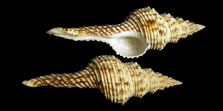 Fasciolariidae Fusininae Marmorofusus - Le genre, ses espèces, la planche Fascio51