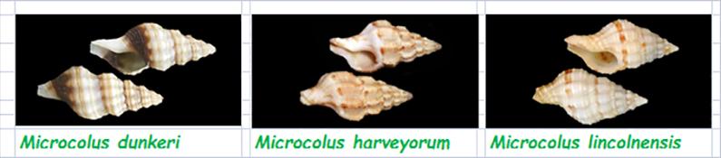 Fasciolariidae Fasciolariinae Microcolus - Le genre, ses espèces, la planche Fascio52
