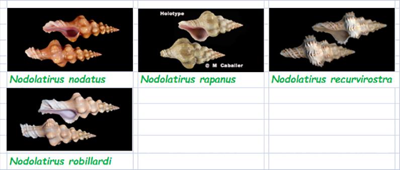 Fasciolariidae Peristerniinae Nodolatirus - Le genre, ses espèces, la planche Fascio53
