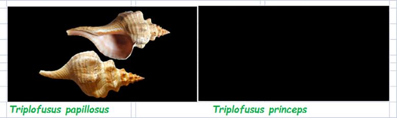 Fasciolariidae Fasciolariinae Triplofusus - Le genre, ses espèces, la planche  Fascio56