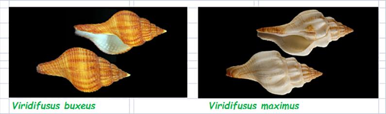 Fasciolariidae Fusininae Viridifusus - Le genre, son espèce, la planche Fascio57