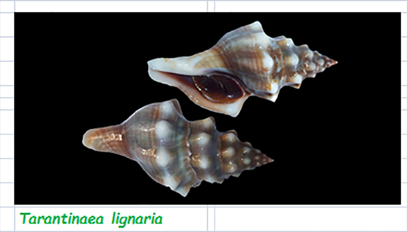 Fasciolariidae Peristerniinae Tarantinaease - Le genre, l' espèce, la planche Fascio58