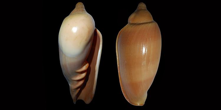 Marginellonidae Afrivoluta - Le genre, ses espèces, la planche Margin37