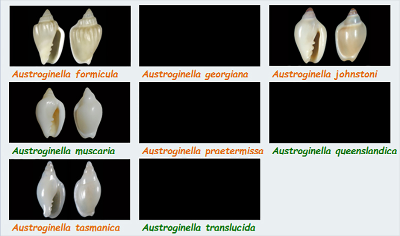 Marginellidae Austroginella - Le genre, ses espèces, la planche Margin38