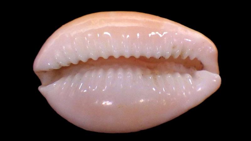 Naria poraria insignis - (Dautzenberg, 1903) Rimg4536