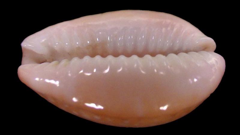 Naria poraria insignis - (Dautzenberg, 1903) Rimg4539